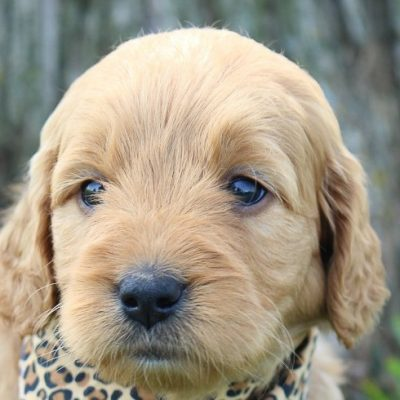 Brooke: Girl Goldendoodle for sale (Shipshewanna, Indiana)