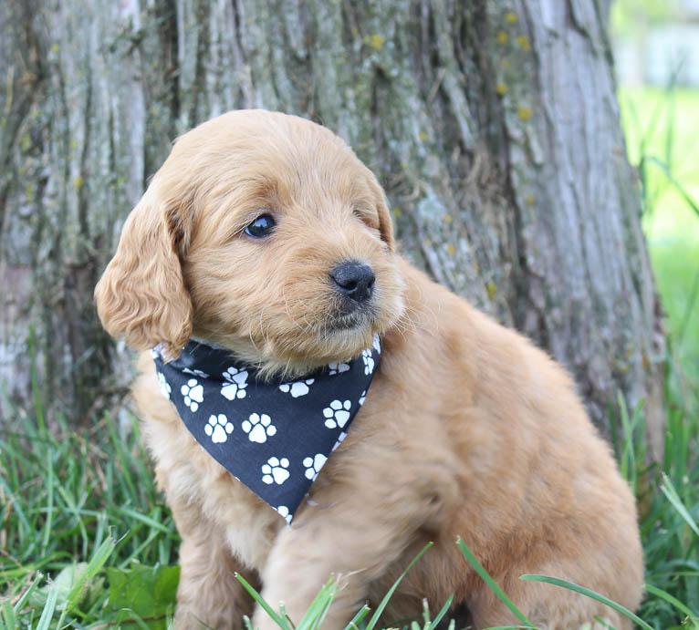 Fiona: Female Goldendoodle pupper (Shipshewanna, Indiana) for sale