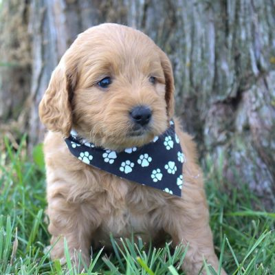 Fiona: Female Goldendoodle pupper (Shipshewanna, Indiana) for sale