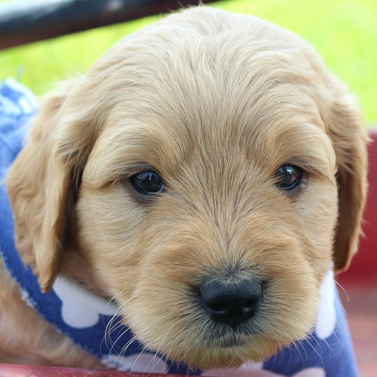 Jasper: Male Goldendoodle puppy for sale (Shipshewanna, Indiana)