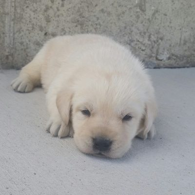Labrador Retriever puppy for sale in Woodburn, Indiana