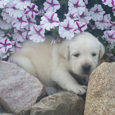 Labrador Retriever - a female AKC puppy in Woodburn, Indiana