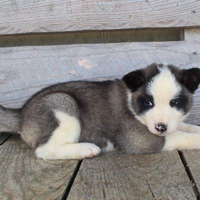 Brittney: Female AKC Akita puppy for sale in St. Joe, Indiana