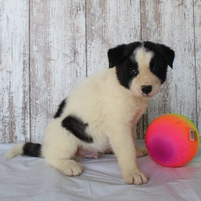 Blake: Male AKC Akita puppy [St. Joe, Indiana] for sale