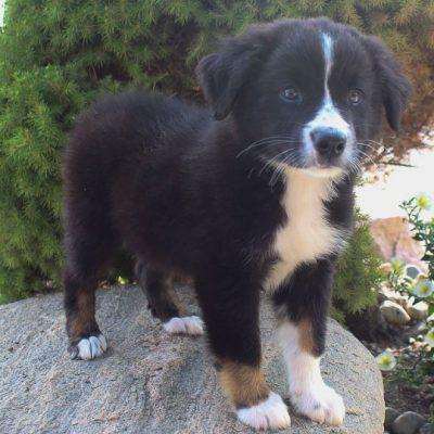 Duke - Male Australian Shepherd puppy for sale in Grabill, Indiana