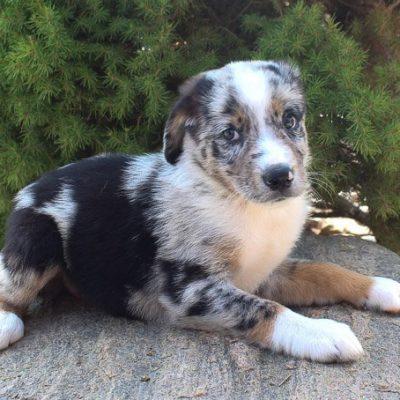 Dominik - Male Australian Shepherd puppy in Grabill, Indiana