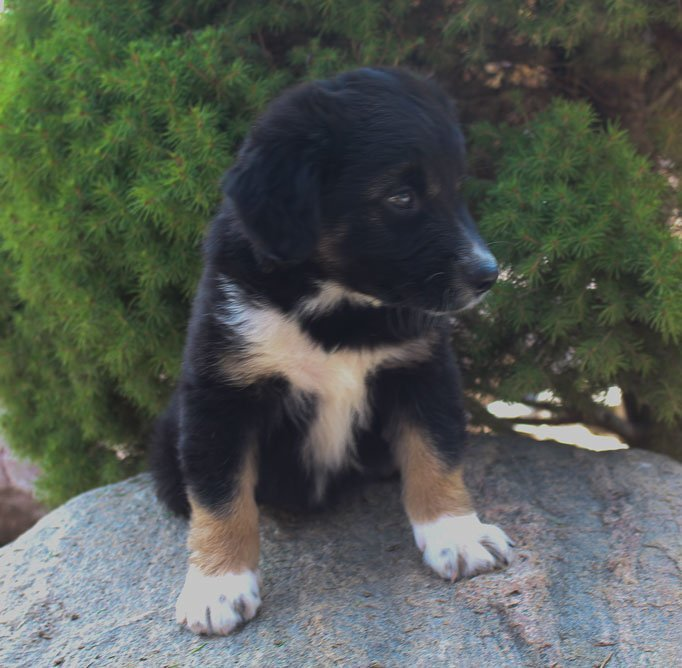 Dasher - Male Australian Shepherd puppy [Grabill, Indiana]
