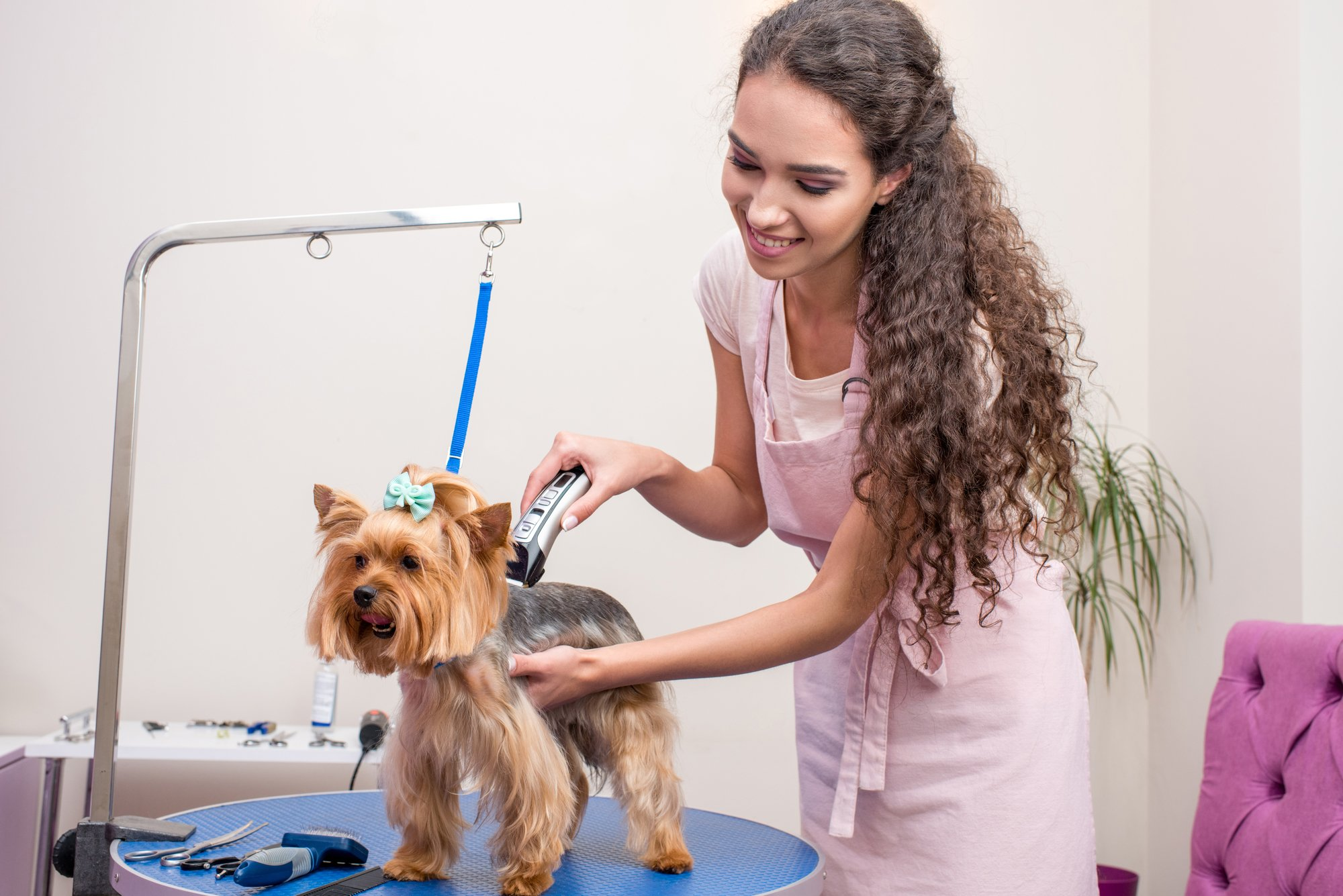 Professional groomer giving a dog a haircut.