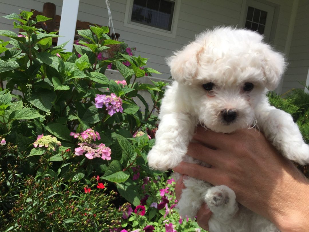 Sophie - Female AKC Bichon Frise puppy for sale in Edon, Ohio