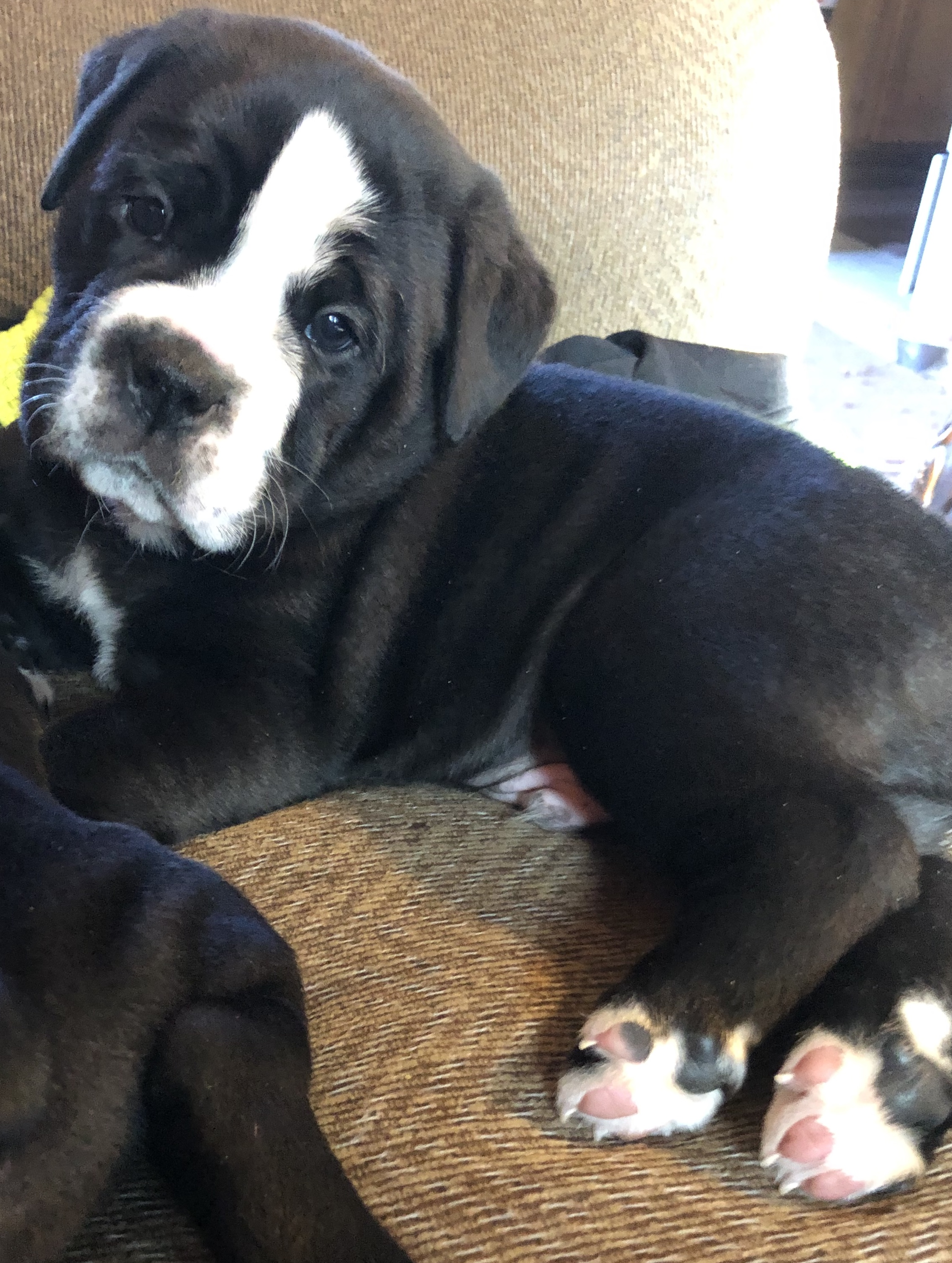 Snoopy - Old English Bulldog puppy for sale in Minneapolis, MN