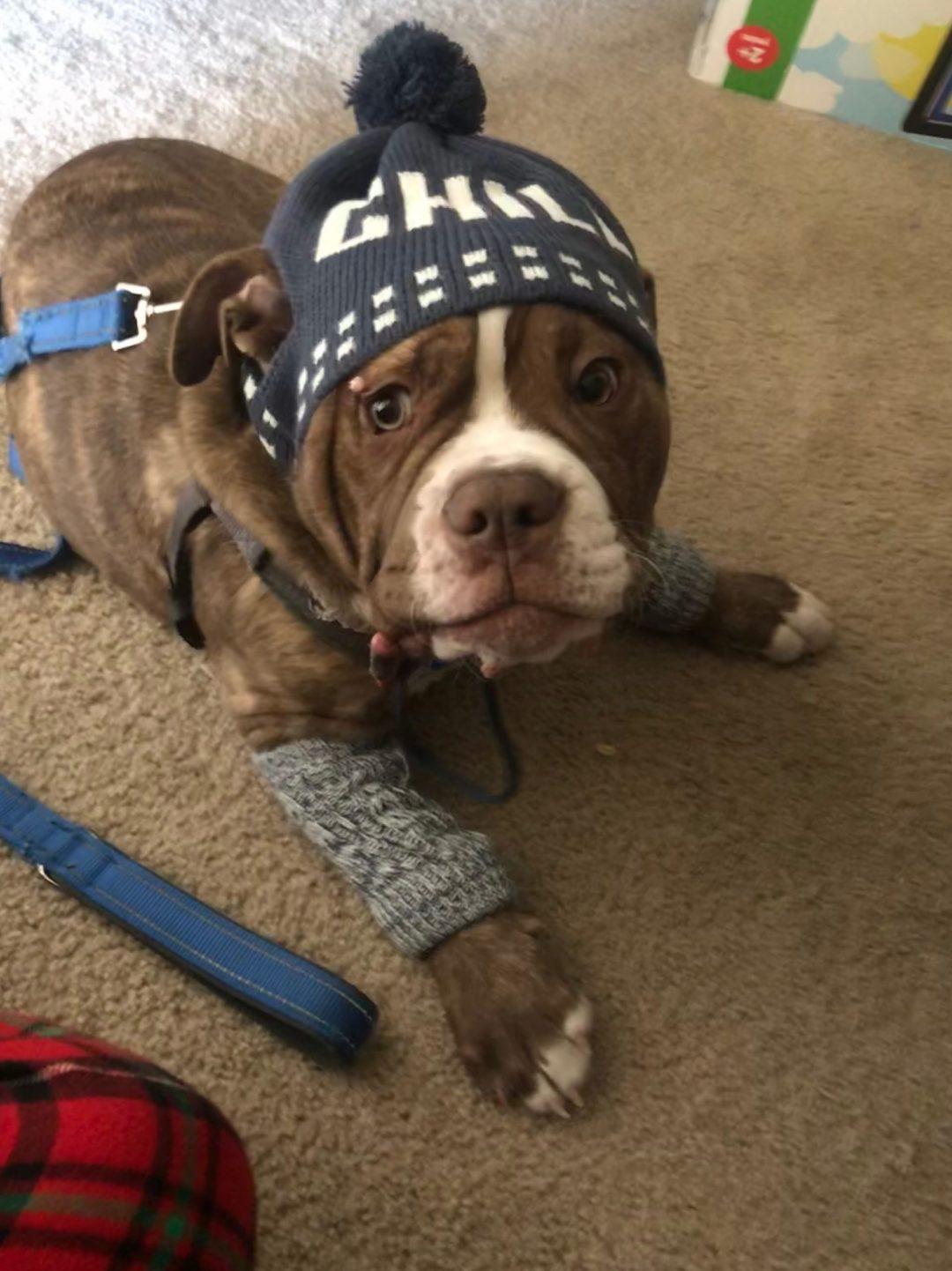 Luna - CKC Old English Bulldog puppy for sale in Minneapolis, MN