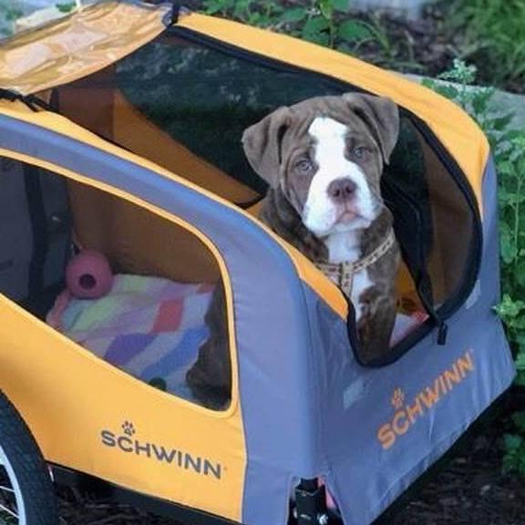 Snoopy 2 - doggie CKC Old English Bulldog for sale at Minneapolis, MN