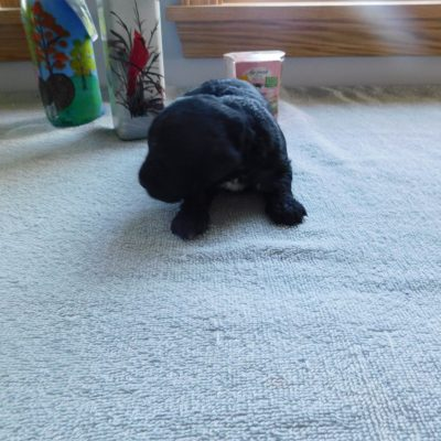 Ralph - Male Mini Goldendoodle pups for sale in Reading, Michigan