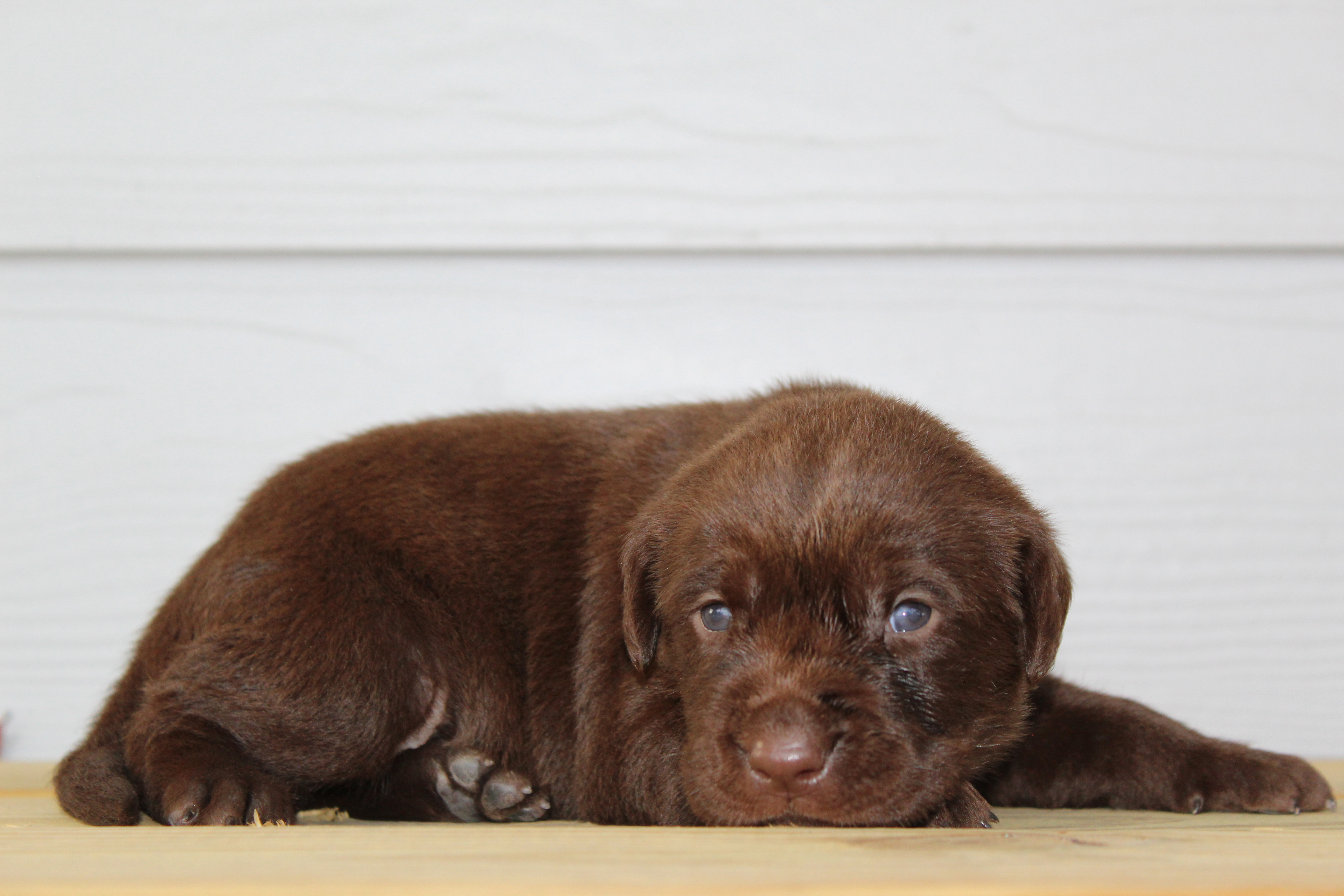 Abby's Litter - Labrador Retriever puppies for sale in Godley, Texas | VIP  Puppies