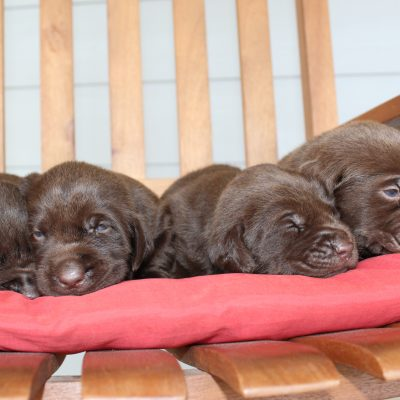 Princess's Litter - Labrador Retriever puppies for sale in Godley, Texas