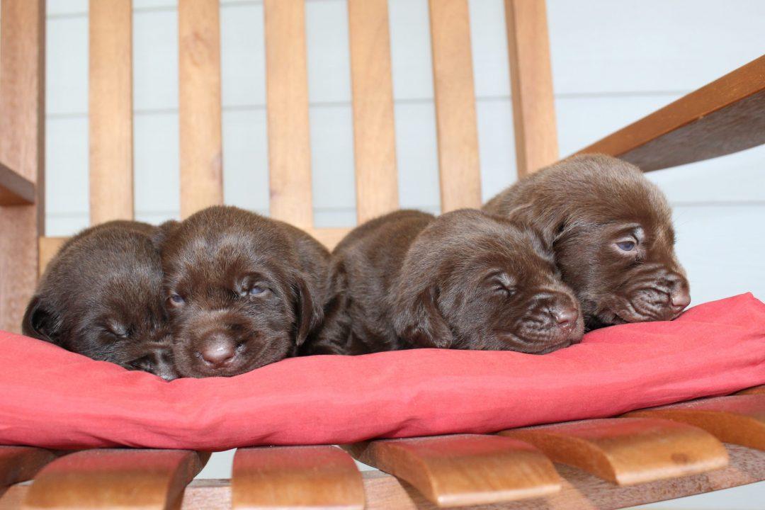 Princess's Litter - Labrador Retriever puppies for sale in Godley, Texas