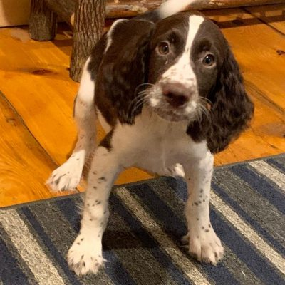 Buster - male English Springer Spaniel pup in East Palestine, Ohio for sale