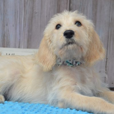 Baloo - Double Doodle puppy in East Palestine, Ohio for sale