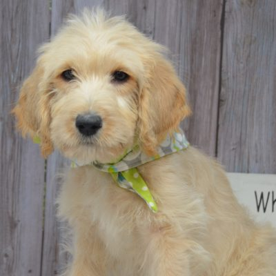 Barry - Double Doodle pups for sale in East Palestine, Ohio