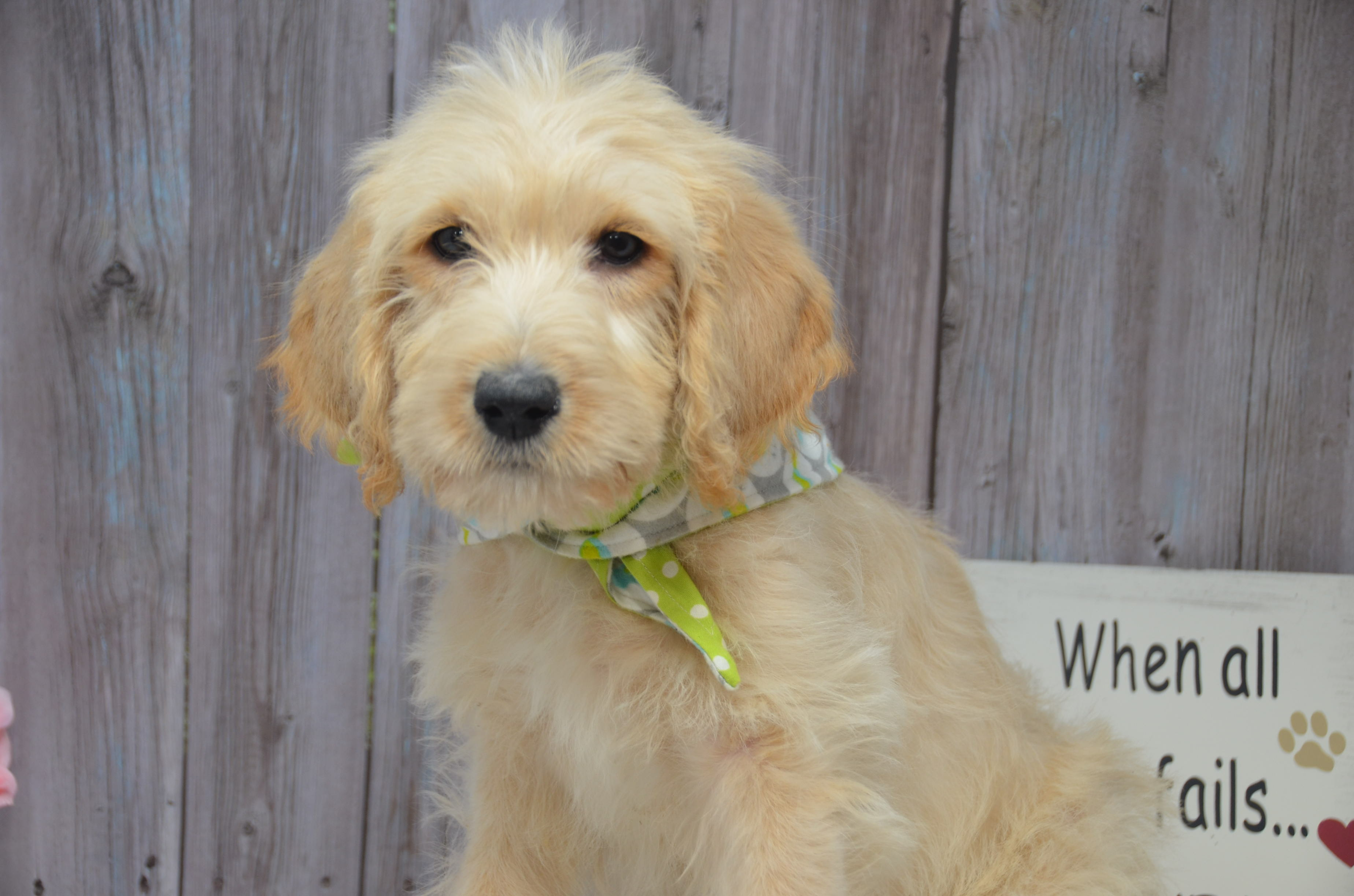 Barry Double Doodle Pups For Sale In East Palestine Ohio