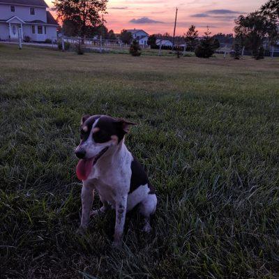Mocha – Rat Terriers for sale in Goshen, IN