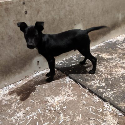 Rosco - Rat Terrier mix puppy for sale in Bethel, PA