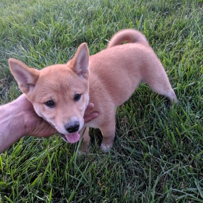 Rocky - Male ACA Shiba Inu puppy for sale in Goshen, Indiana