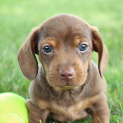 Howie - a male AKC Mini Dachshund puppy for sale in Shipshewana, IN