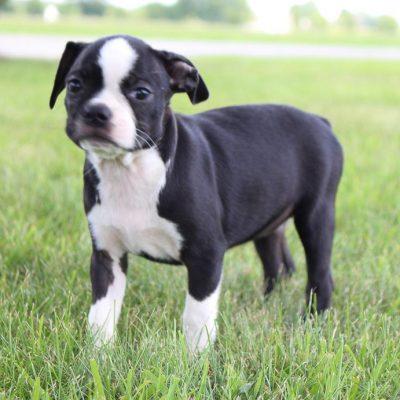 Bonnie: girl AKC Boston Terrier puppy for sale (Shipshewana, Indiana)