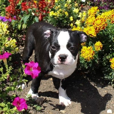 Beatle: Male Boston Terrier AKC puppy for sale (Shipshewana, Indiana)
