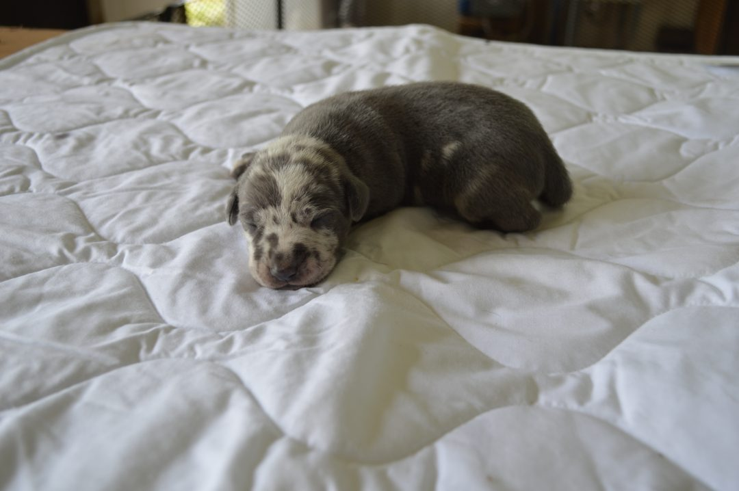 Male 3: Louisiana Catahoula Leopard Dog for sale from Craigville, Indiana
