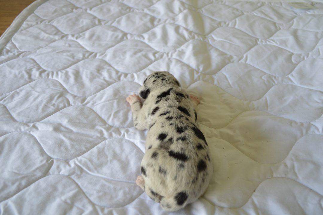Female 9: Louisiana Catahoula Leopard puppy in Craigville, IN for sale