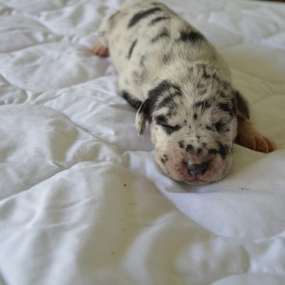 Female 9: Louisiana Catahoula Leopard puppy in Craigville, IN for sale