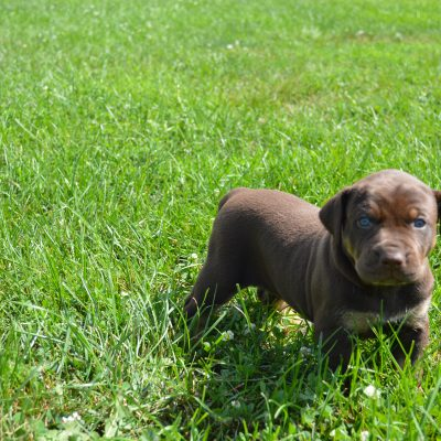 Female 3: Louisiana Catahoula Leopard puppies for sale in Craigville, Indiana