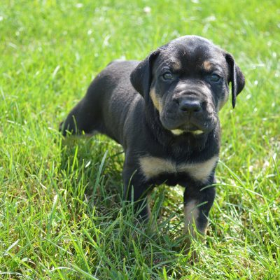 Female 4: Louisiana Catahoula Leopard Dog for sale in Craigville, IN
