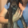 Mary Jane - female Catahoula Leopard Dog for sale in Bethel Springs, TN