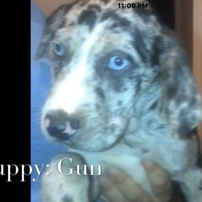 Gun - Louisiana Catahoula Leopard Dogs for sale in Bethel Springs, Tennessee