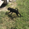 Patients - female Louisiana Catahoula Leopard Dog for sale in Bethel Springs, TN
