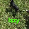 Izzy - Louisiana Catahoula Leopard Dog puppy for sale in Bethel Springs, Tennessee