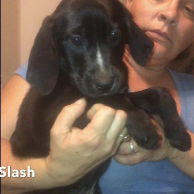 Slash - female Louisiana Catahoula Leopard Dogs for sale in Tennessee