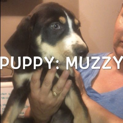 Muzzy - Catahoula Leopard Dog puppies for sale in Bethel Springs, Tennessee
