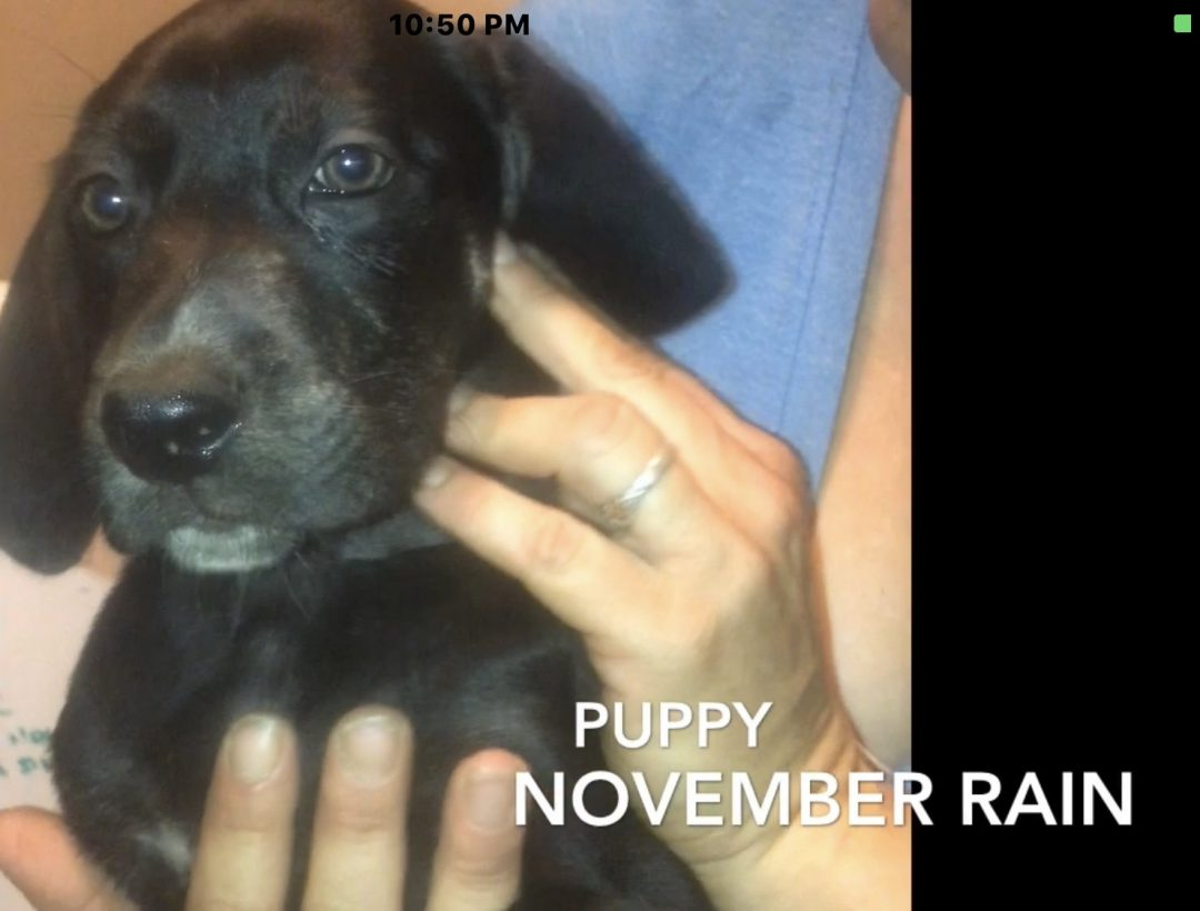 November Rain - girl Louisiana Catahoula Leopard Dog for sale in Tennessee