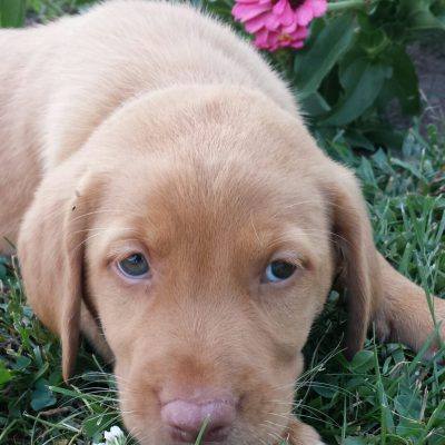 Brandy - a female puppy Labrador Retriever for sale in Jonestown, Pennsylvania