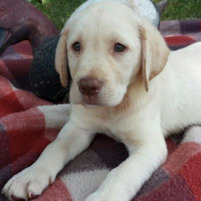 Bruser - a male Labrador Retriever pup for sale in Jonestown, Pennsylvania