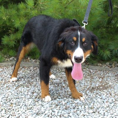 Evie - AKC female puppy Bernese Mountain Dog for sale in Indiana