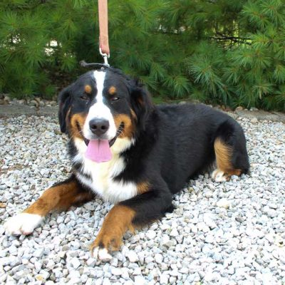Elsa - Bernese Mountain Dogs for sale in Indiana