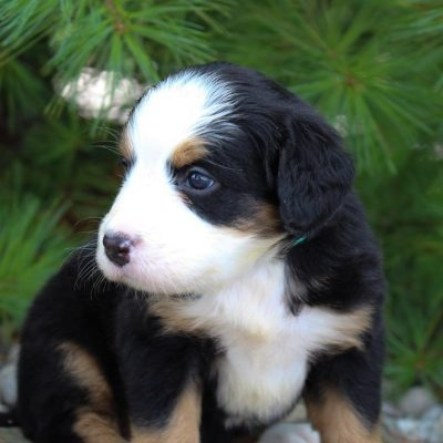 Bella - Bernese Mountain Dog puppies near Fort Wayne, IN for sale