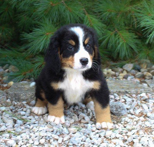Clifford: Male AKC Bernese Mountain Dog in Harlan, Indiana