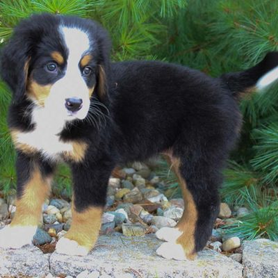 Waylon - Bernese Mountain Dog for sale in Harlan, Indiana