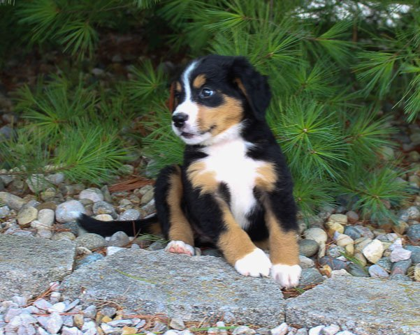 Angel: Female Bernese Mountain Dog for sale in Harlan, Indiana